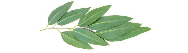 Listerine essential oil - eucalyptol leaf branch