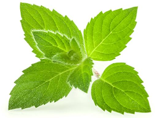menthol essential oil plant used in Listerine