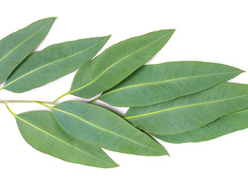 Listerine essential oil - eucalyptol leaf branch